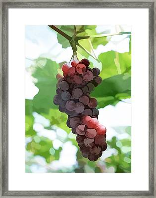 Grapes In Vineyard Framed Print by Lanjee Chee