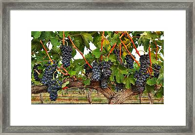 Grapes Of The Yakima Valley Framed Print by Lynn Hopwood