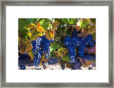 Grapes Ready For Harvest Framed Print by Garry Gay