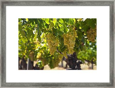 Grapes  Framed Print by Ulrich Schade