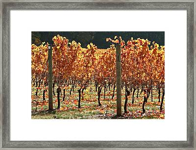 Grapevines After The Harvest Framed Print by Margaret Hood