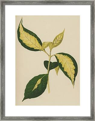 Graptophyllum Pictum Framed Print by English School