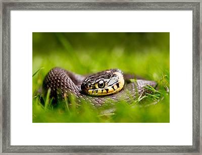 Grass Snake - Natrix Natrix Framed Print by Roeselien Raimond