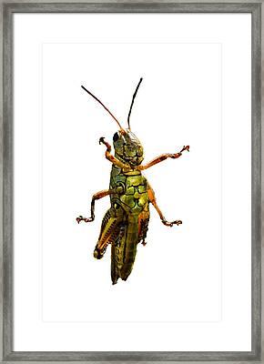 Grasshopper II Framed Print by Gary Adkins