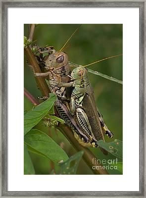Grasshopper Sex Framed Print by Warren Sarle