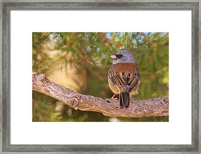 Gray-headed Dark-eyed Junco Framed Print by Andrew Johnson