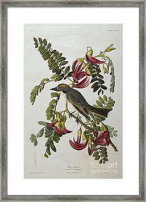 Gray Tyrant Framed Print by John James Audubon