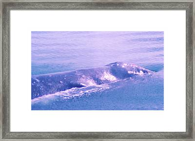 Gray Whale  Framed Print by Jeff Swan