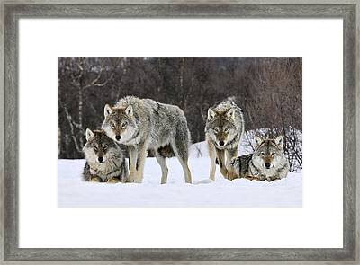 Gray Wolf Canis Lupus Group, Norway Framed Print by Jasper Doest