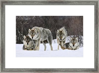 Gray Wolves Norway Framed Print by Jasper Doest