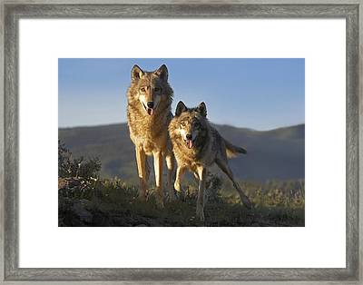 Gray Wolf Canis Lupus Pair Standing Framed Print by Tim Fitzharris