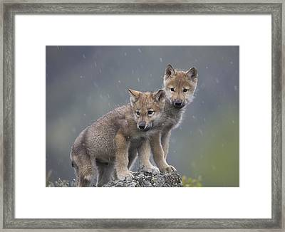 Gray Wolf Canis Lupus Pups In Light Framed Print by Tim Fitzharris