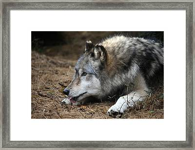 Gray Wolf Framed Print by Karol Livote
