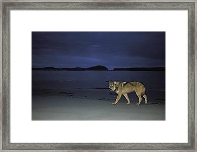 Gray Wolf On Beach At Twilight Framed Print by Joel Sartore