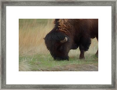 Grazing Buffalo Framed Print by Ernie Echols