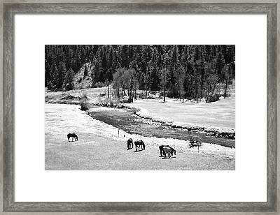 Grazing Bw Framed Print by Angelina Vick