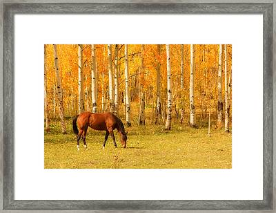 Grazing Horse In The Autumn Pasture Framed Print by James BO  Insogna