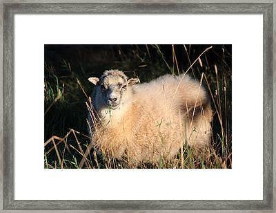 Grazing Sheep Framed Print by Nicholas Miller