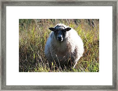 Grazing Sheep Three Framed Print by Nicholas Miller