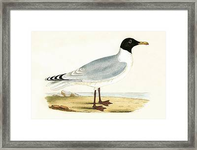 Great Black Headed Gull Framed Print by English School
