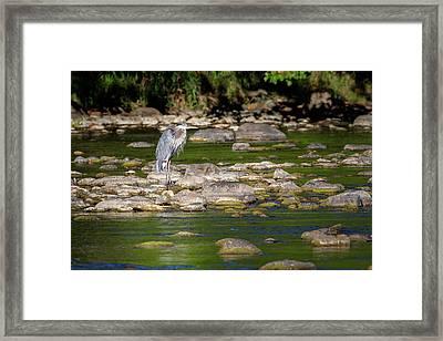 Great Blue Heron 2016 Framed Print by Bill Wakeley