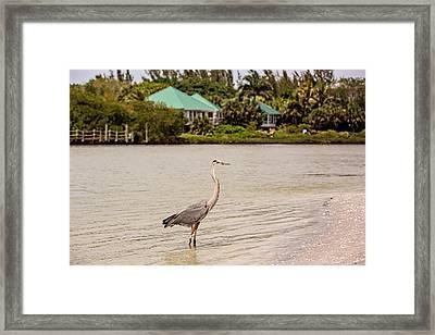 Great Blue Heron At Blind Pass Framed Print by Scott Pellegrin
