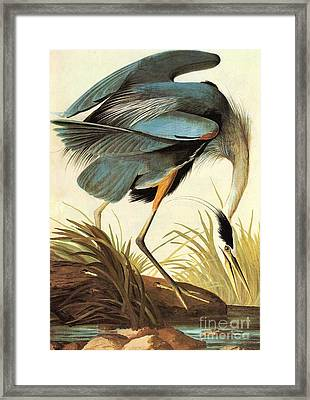 Great Blue Heron Framed Print by Celestial Images
