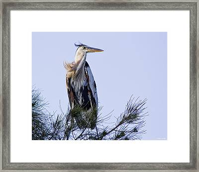 Great Blue Heron On A Windy Day Framed Print by Roger Wedegis
