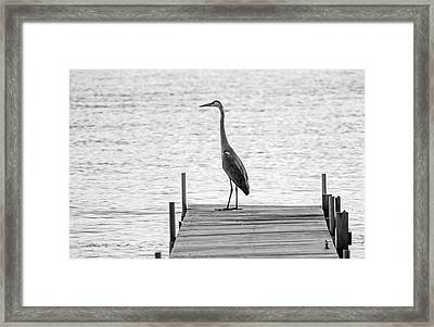 Great Blue Heron On Dock - Keuka Lake - Bw Framed Print by Photographic Arts And Design Studio