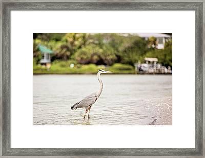 Great Blue Heron Framed Print by Scott Pellegrin