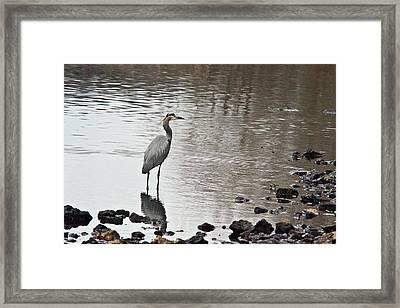 Great Blue Heron Wading 2 Framed Print by Douglas Barnett