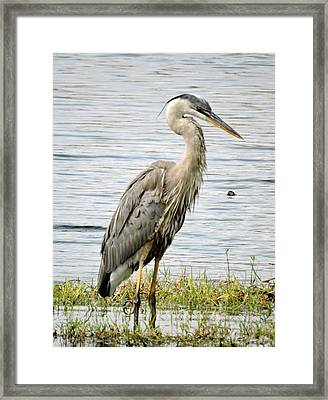 Great Blue Heron Framed Print by William Albanese Sr