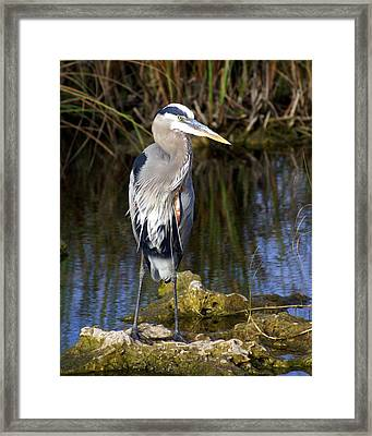 Great Blue Framed Print by Marty Koch