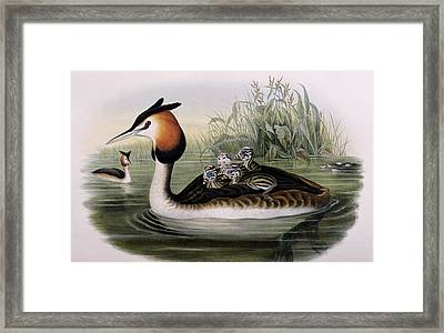 Great Crested Grebe  Framed Print by John Gould