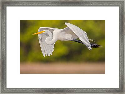 Great Egret Folded Wings Framed Print by Andres Leon