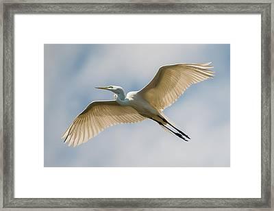 Great Egret In Flight - St. Augustine Fl Framed Print by Dave Allen
