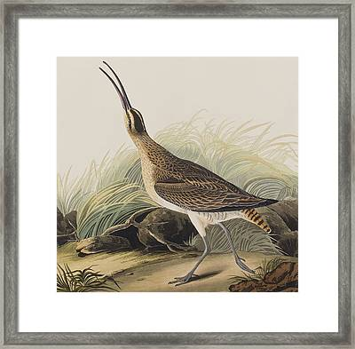Great Esquimaux Curlew Framed Print by John James Audubon