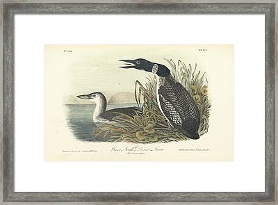 Great North Diver Loon Framed Print by John James Audubon