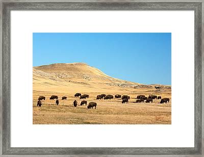 Buffalo Framed Print featuring the photograph Great Plains Buffalo by Todd Klassy
