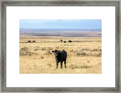 Great Plains Steer Framed Print by Todd Klassy