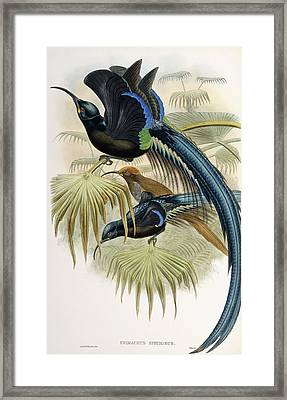 Great Sickle-billed Bird Of Paradise Framed Print by John Gould