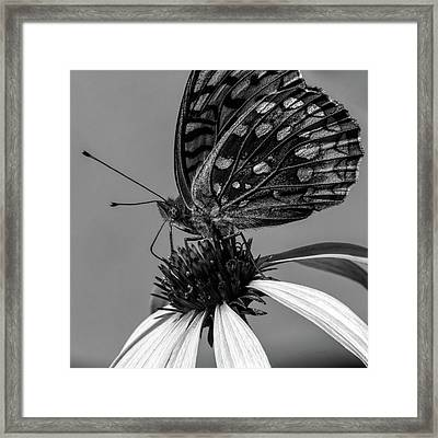 Great Spangled Fritillary Black And White Framed Print by Bob Orsillo