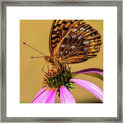 Great Spangled Fritillary Framed Print by Bob Orsillo