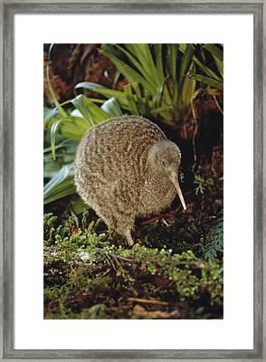 Great Spotted Kiwi Apteryx Haastii Male Framed Print by Tui De Roy