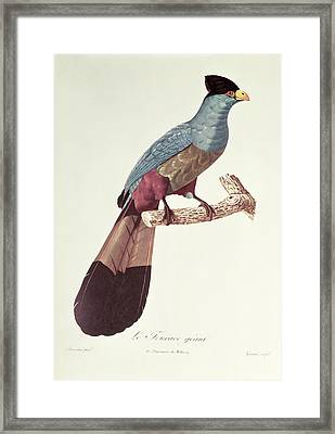 Great Touraco Framed Print by Jacques Barraband