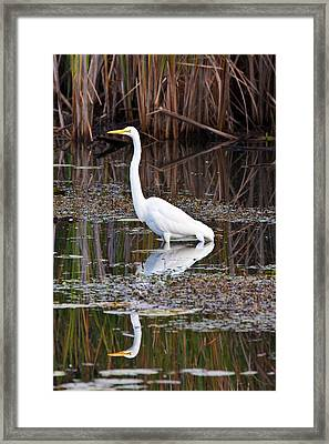 Great White Egret Framed Print by James Marvin Phelps