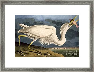 Great White Heron Framed Print by John James Audubon
