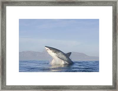 Great White Shark (caracharodon Carcharias) Framed Print by Thomas Kokta