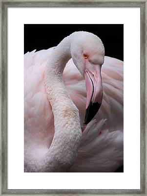 Greater Flamingo Framed Print by Animus  Photography