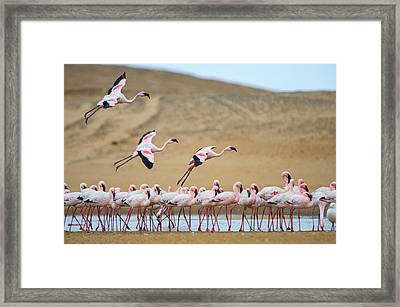 Greater Flamingos Phoenicopterus Framed Print by Panoramic Images